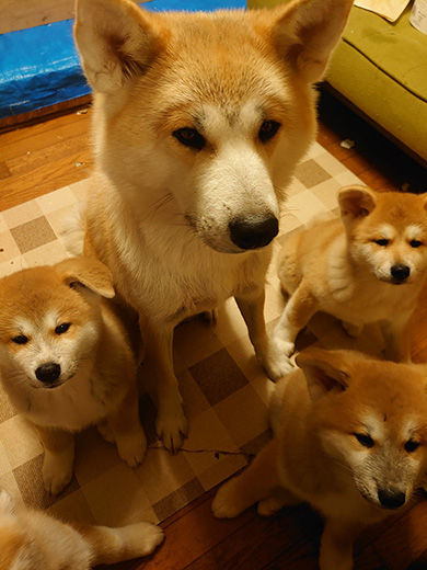 勝次狼秋田犬さん