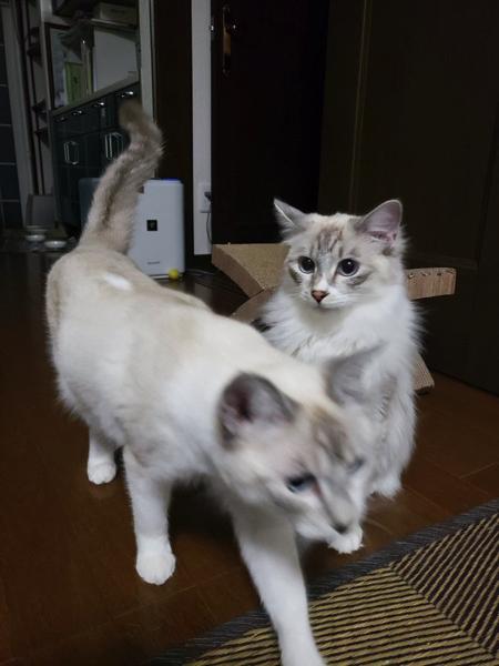 尻尾で遊ぶ猫ちゃん