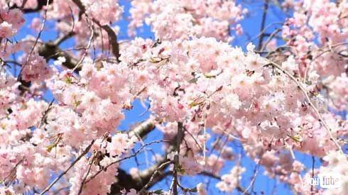 ドミノ お家で花見 花見映像 持ち帰り 2枚目0円 キャンペーン デリバリー