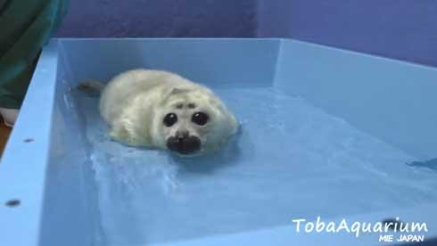 鳥羽水族館 バイカルアザラシ 赤ちゃん 初めて お風呂 水浴び