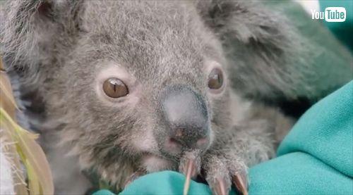 サンディエゴ動物園コアラの赤ちゃん