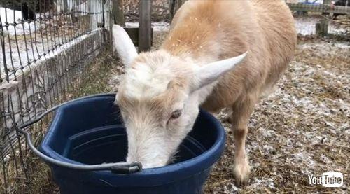 ヤギ農場動画