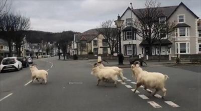 イギリスの街を占拠するヤギ