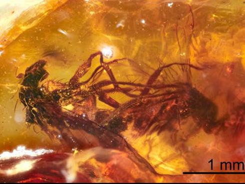 4000万年前のハエが交尾する姿を収めた琥珀 豪大学が発見