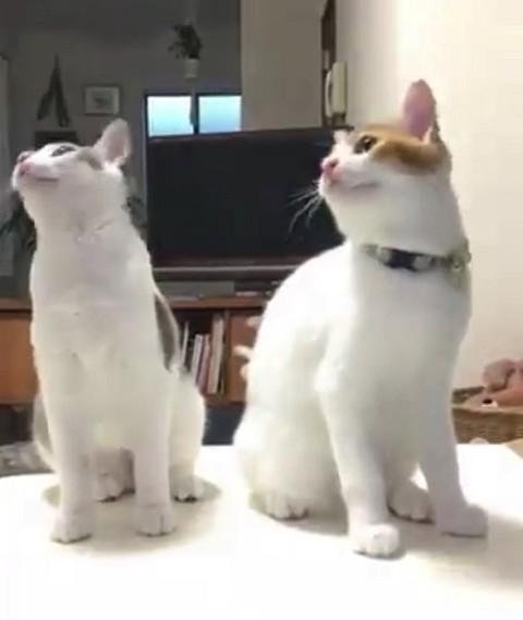 シンクロポーズする双子猫
