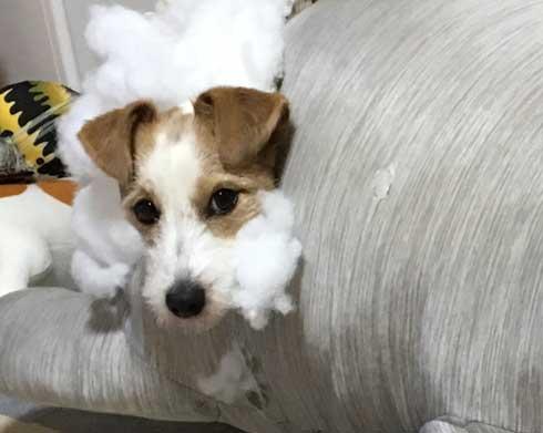クッション ぬいぐるみ ボロボロ 破壊 ワンコ 犬 ジャックラッセルテリア
