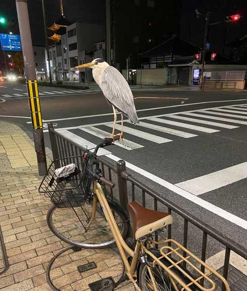 アオサギ 自転車 ハンドル 止まる 間近 京都