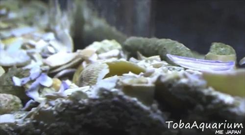 鳥羽水族館モンハナジャコ