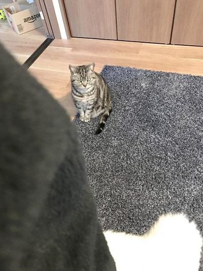 猫 こまちさん 在宅勤務 スマホ