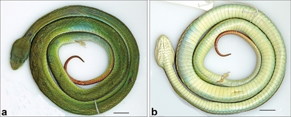新種のヘビ
