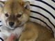 子犬「あれれ、足が動いちゃうよ」 胸毛をさすると後ろ足をパタパタ動かす柴犬の動画が癒やされる