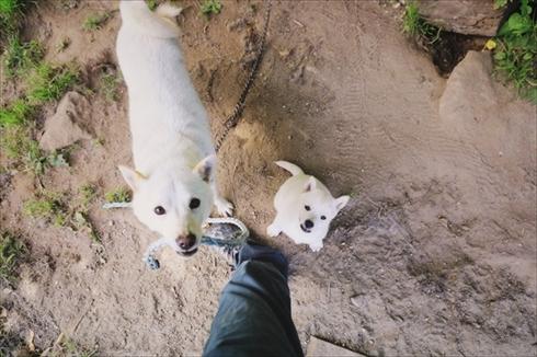 北海道犬ウパシ君