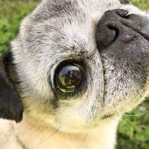 犬 パグ めーちゃん