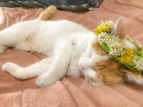 花冠猫ちゃん