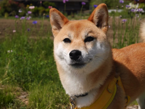 斜め小走りする柴犬