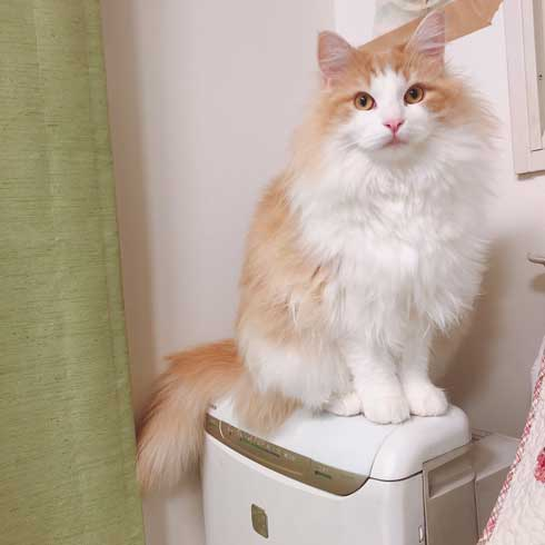 焼きおにぎり 猫 今朝助けていただいた ノルウェージャン