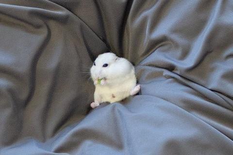 ソファでゆったりハムちゃん