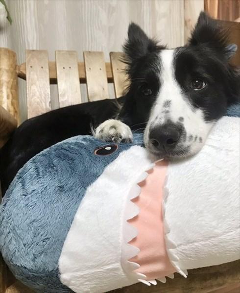 IKEAのサメから離れないワンちゃん