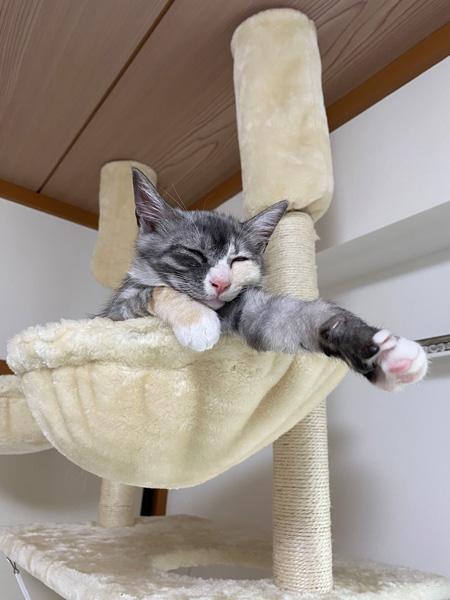 キャットタワーで眠るアワちゃん