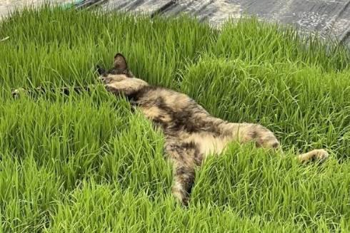 ネコ くまちゃん 苗の上で寝る 芝生じゃない