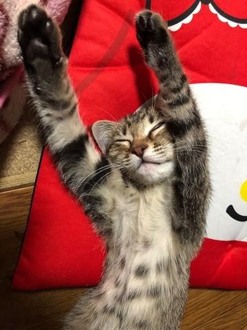 腕立て伏せ 猫がじゃま