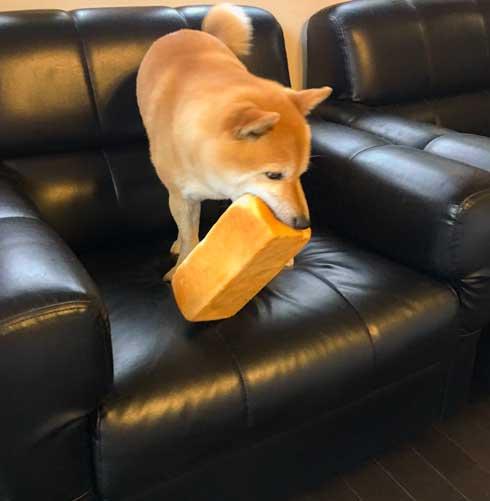 夢 サイズ 犬用パン 沸き立つ 柴 犬 食パン 丸かじり