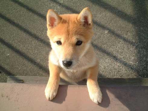 史上最高の暑さ 犬 無気力な犬 元ネタ 飼い主 さいたま コラ 柴犬