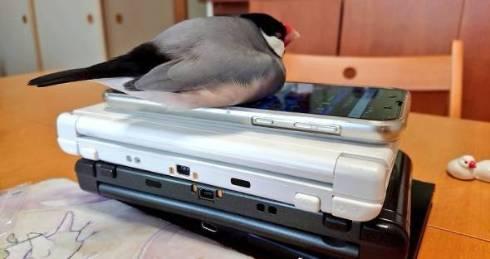 ゲーム機を預かる文鳥