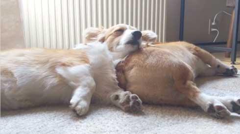 犬 コーギー 寝相 大胆 あお向け ヘソ天 眠気 我慢 兄妹