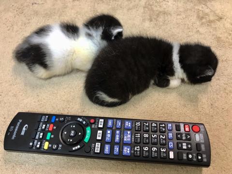 体全体でパーを表現する子猫