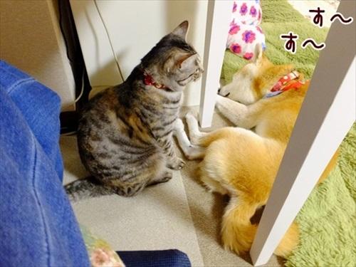 柴犬ひかりといちごと猫ミルキーときらら