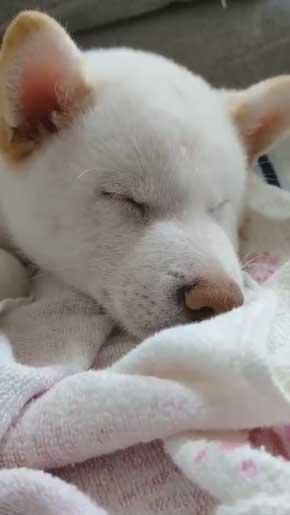 白柴犬 子犬 食欲旺盛 身体能力 登る やんちゃ 器用 筋トレ ご飯