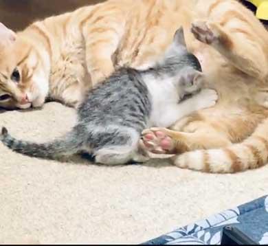 母性 目覚めた オス 雄 猫 子猫 グルーミング おっぱい