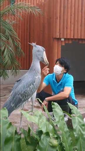 ハシビロコウ ふたばさん イケメン 飼育員 戯れる 静岡 掛川花鳥園