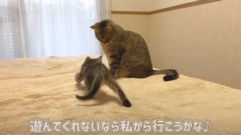 子猫 先住猫 先輩猫 遊んで じゃれ合い にゃんかつ YouTube