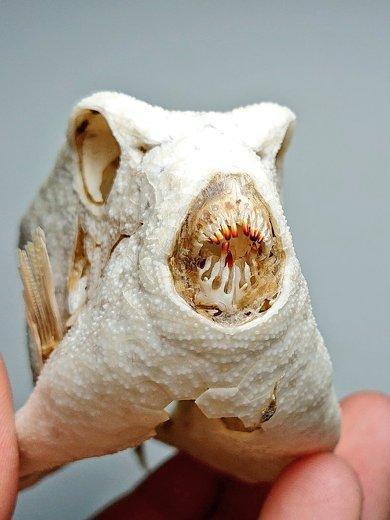 海岸 見つけた ハコフグ 構造 標本 骨 ハニカム構造