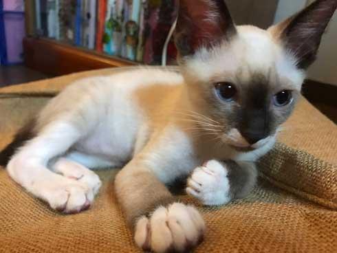シャム猫の色変わりすぎ選手権 白猫 狸 ビフォーアフター 成長 柄 変化