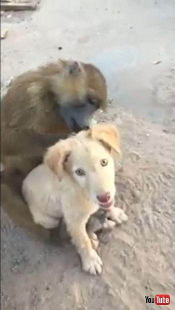 Checks Puppy's Hair