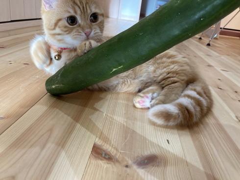 きゅうり 猫 ハグ 抱き枕 大好き グルグル ぷっちょ