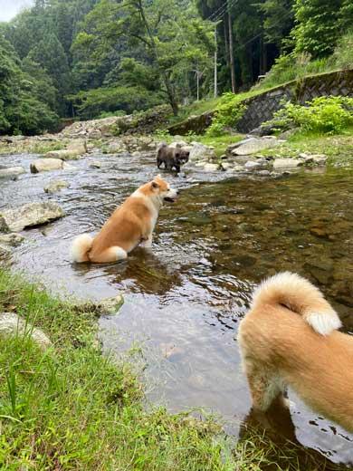 秋田犬 水遊び 足湯 川 涼む 静か 動かない