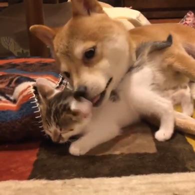 暴れ猫 子猫 柴犬 正しい 対処法 仲良し しまっちゃう 巻く