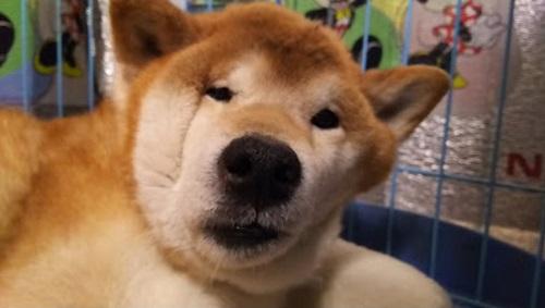 顔が変形した柴犬