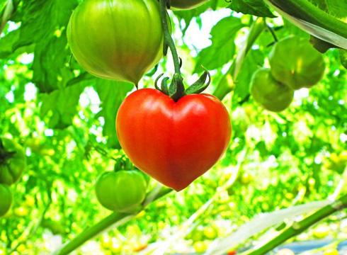 ハート型のトマトを遠くから