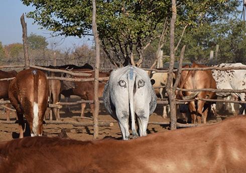 おしりに描いた目の模様が牛を肉食獣から守る 豪大学が研究結果を発表