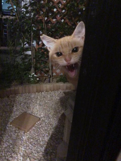 シャー顔がかわいい猫ちゃん