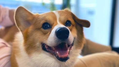 Nintendo Switch 消す 散歩を察する 犬 喜ぶ 表情 コーギー ラッキー