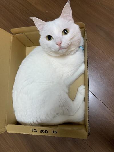 箱におさまるハク様