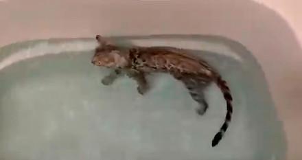 風呂好き猫