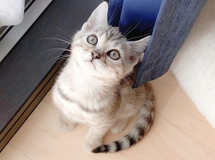 ベンガル猫のレムさん