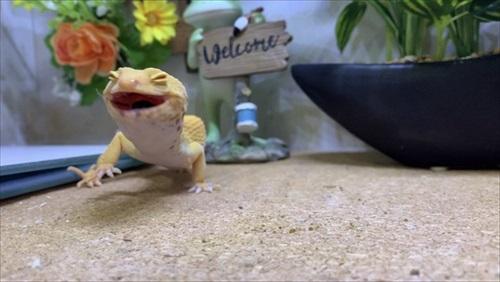 ご機嫌なトカゲモドキさん